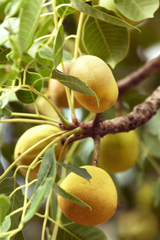 Amarula vrucht