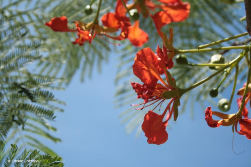 Australia - red mimosa tree